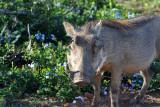 Warthog, Addo National Park