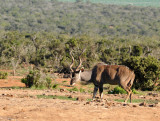 Kudu near the Harpoor Dam waterhole, Addo