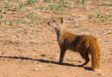 Yellow Mongoose (Cynictis penicillata), Addo Elephant National Park