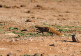 Yellow Mongoose hunting around the Harpoor Dam