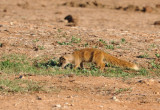 Yellow Mongoose - might have found something