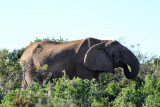 Elephant - Mpunzi Walk, Addo Elephant National Park