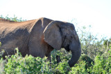 Tuskless Elephant, Addo Elephant National Park