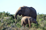 Radio-collarded mother and calf, Addo Elephant National Park