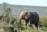 Radio collared matriarch, Addo Elephant National Park