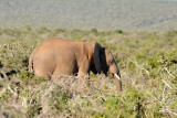 Finally, an elephant at Addo with tusks