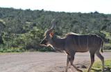 Kudu crossing the Rooidam Hapoor Walk