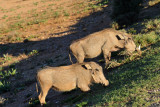 A pair of warthogs, Addo Elephant National Park