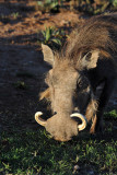 Big-tusked warthog, Addo National Park