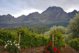 Vineyards nestled up against the Helderberg in the Stellenbosch Mountains