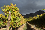 Sunlit vineyards beneath a dark sky, south Stellenbosch winelands