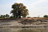 Large tree on the banks of the Irrawaddy