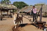 Drive between Bagan and Mt. Popa