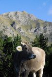 Swiss-style brown cow, Andorra