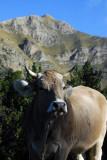 Brown Cow, Pyrenees Mountains, Andorra