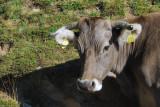 Brown cow, Andorra