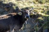 Brown cow with horns and cow bell, Andorra