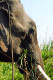 Government elephant, Chitwan