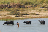 Man leading water buffalo across the river to graze in on the national park side