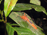 Red cotton or silk cotton bug ( Dysdercus koenigii )