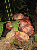 Wood Mushroom (grows in rain forest's soft wood)
