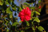 Flower, Bandipur, Nepal
