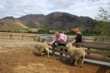 Wrinkly Ram Sheep Shearing Experience in Omarama, pop 231