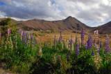 Wildflowers, Lindis Pass Scenic Reserve