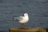 Seagull, Lake Wakatipu, Queensland