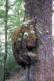 Growth on a tree, Fiordland