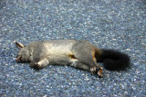Dead possum - 70 million more where that came from
