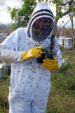 Bill Mondjack in Africanized apiary
