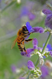 Honey bee on Russian Sage