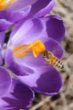 Honey bee on Crocus