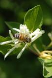 Honey bee on Bush Honeysuckle