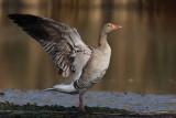 Greylag Goose - Preening