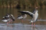 Greylag Goose - Group