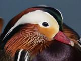 Exotic Ducks