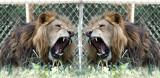 lion mirror 12x6.jpg