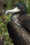 Great Frigate bird. Darwin Bay .Genovesa