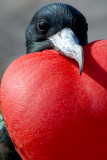 Great Frigate bird, male. Prince Philip`s Steps. Genovesa