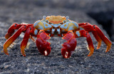 Sally Lightfoot Crab, Punta Espinosa. Fernandina