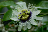 Galapagos Passion flower. Santa Cruz