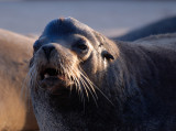 Galapagos sea Lion, male .Santa Fe`