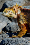 Land Iguana. South Plaza