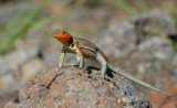 Lava Lizard. South Plaza