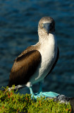Blue footed Booby.  South Plaza.