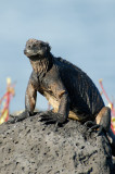 Marine Iguana. South Plaza.