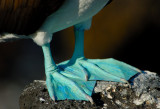 Blue Footed  Booby . South Plaza