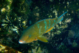 Blue-chin Parrotfish